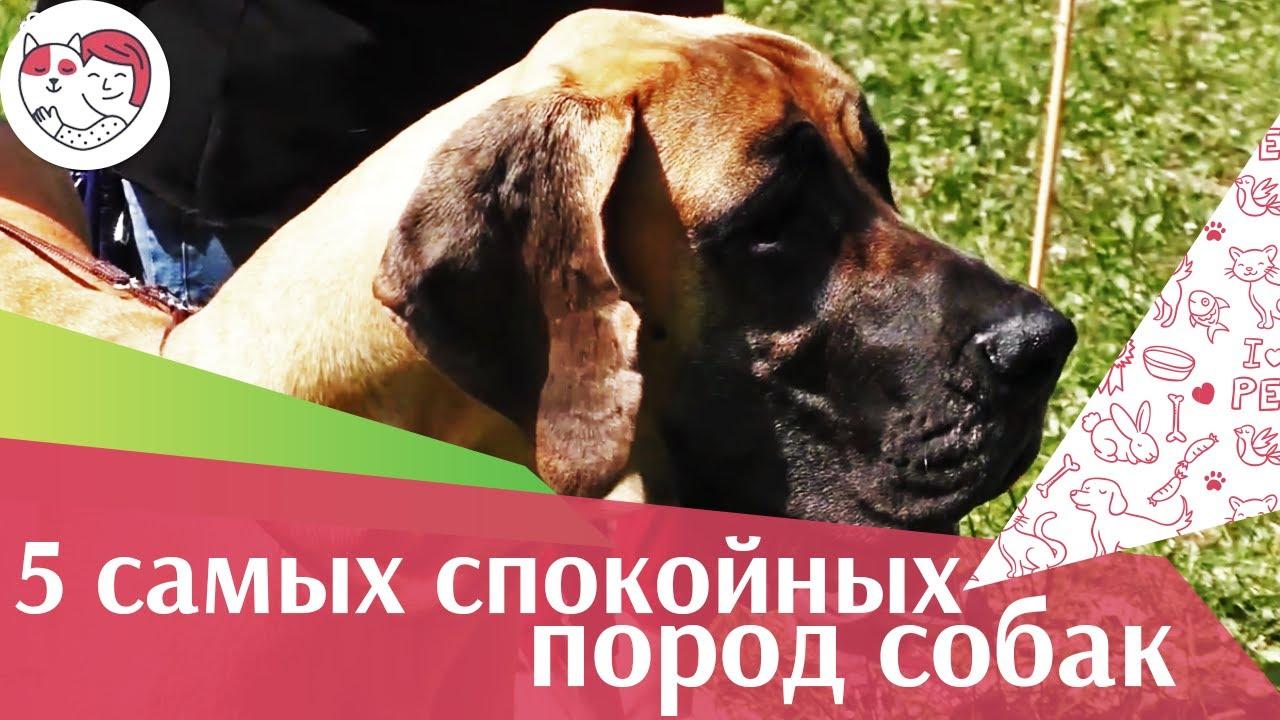 5 самых спокойных пород собак на ilikepet