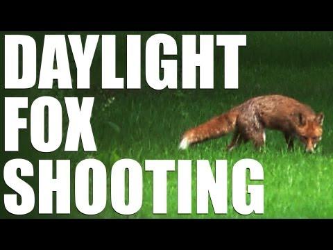 Daylight foxing with a bonus buck