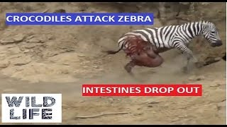 Wile life tube | Crocodiles kill a river crossing zebra intestines out | WLT