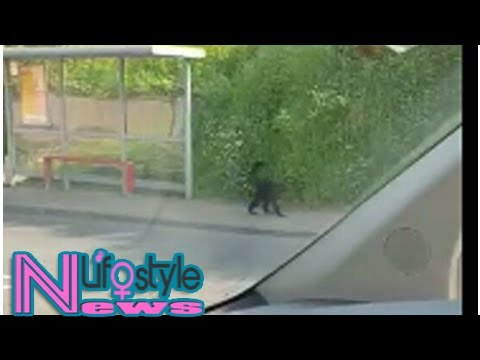Monkey that escaped from belfast zoo dies after being hit by car on motorway