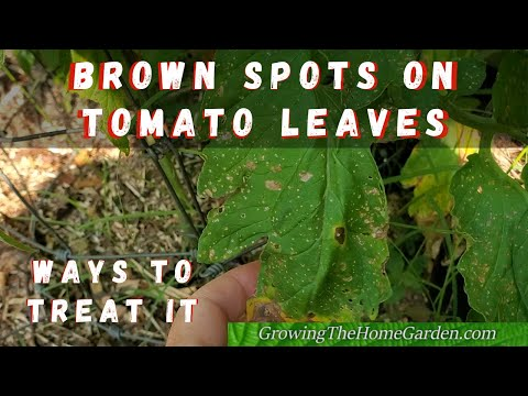 , title : 'Brown Spots on Tomato Leaves? Leaves Turning Yellow? It Might be This!'
