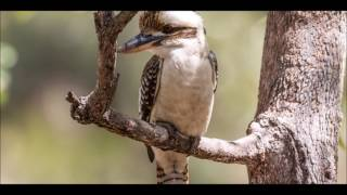 kookaburra sound free download - TH-Clip