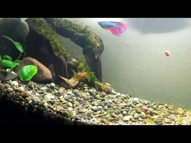 Betta and Neon Tetra in 10-gallon tank (peaceful!)