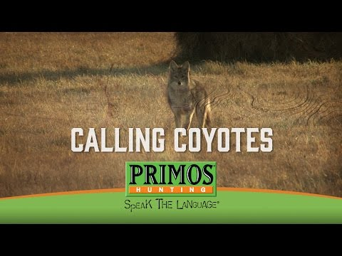 Calling in Coyotes video thumbnail