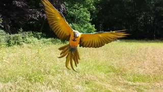 Macaw Rambo free flying parrot training (RIP Rambo shot down by a hunter)