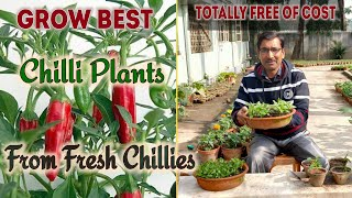 Grow Best Chilli Plants from your Kitchen Chillies Absolutely free of cost
