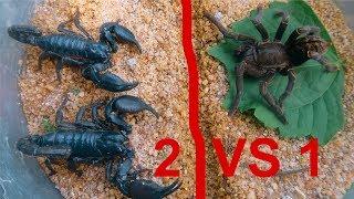 Đại Chiến Nhện TARANTULA Vs BỌ CẠP CHÚA . SOLO 1 Chấp 2 .Thách Đấu Tarantula Spider VS Scorpion