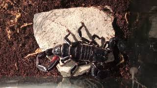 How to buy emperor scorpions in 2017