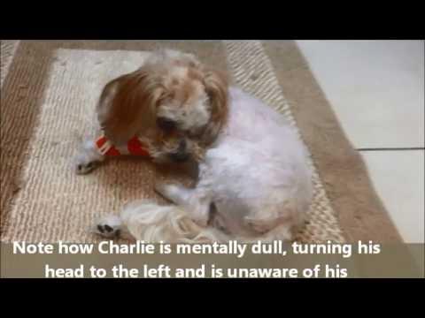 Video Dog Encephalitis Seizures Circling Southeast Veterinary Neurology