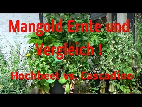 Mangold Ernte!!  Vergleich: Hochbeet vs. Pflanztopf Cascadino!