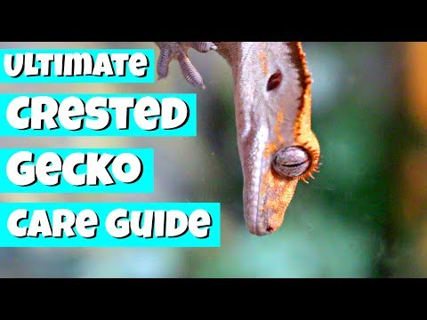 The ULTIMATE Crested Gecko Care Guide! Mp3