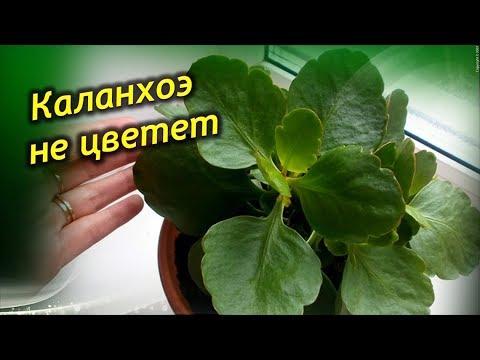 Не цветет и вытягивается вверх Каланхоэ! Что делать? Как заставить цвести Каланхоэ?