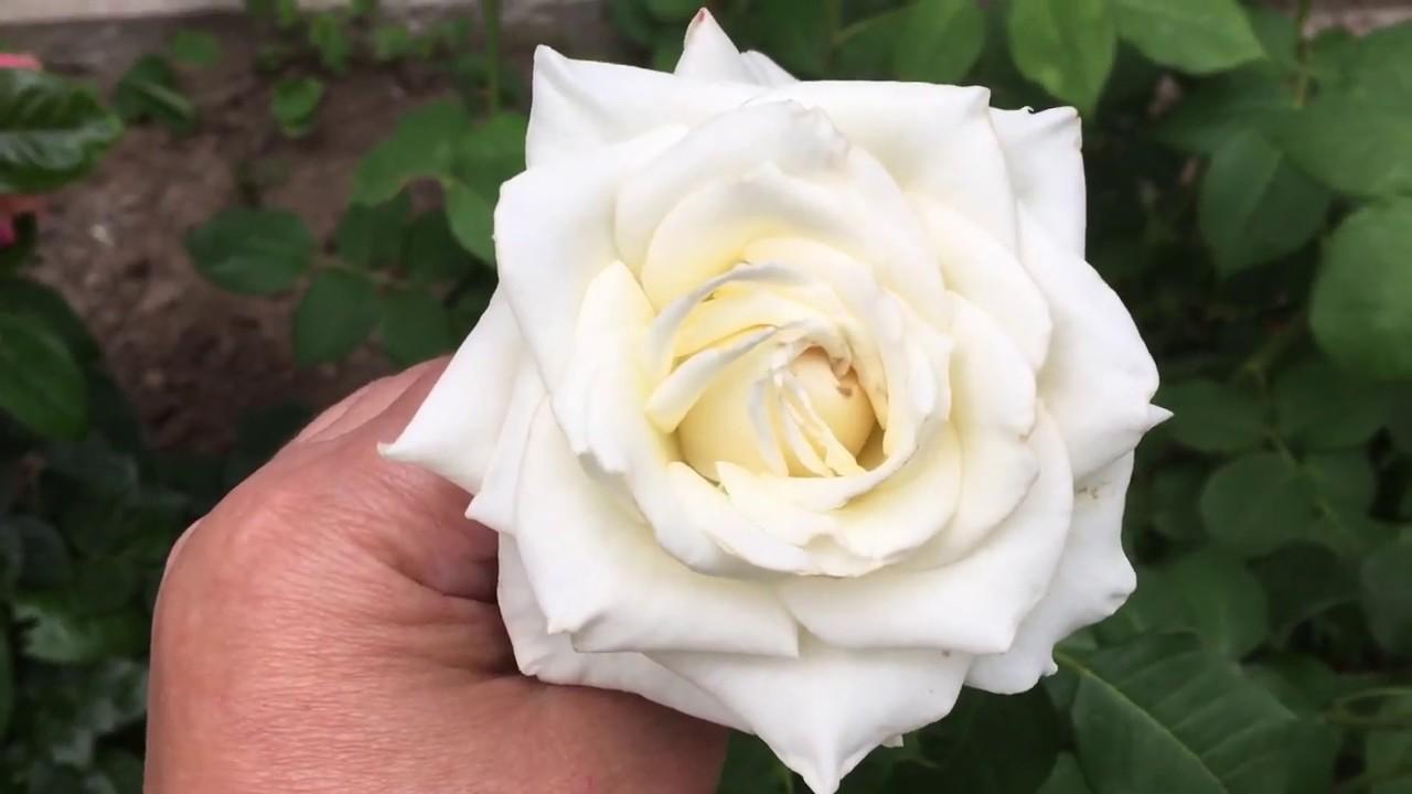 """Роза белая """"Боинг"""" в моем саду!"""
