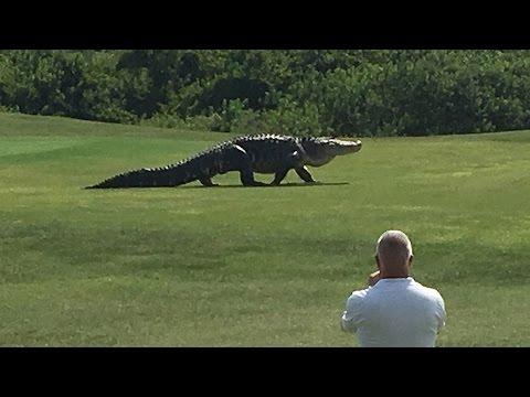تمساح ضخم يقتحم حديقة و ملعب جولف