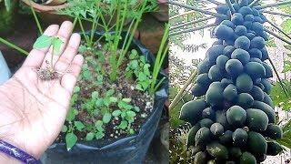 Grow Papaya From Seed & Get Good Quality Fruit Plant   पपीते को बीज से उगाने का सही तरीका