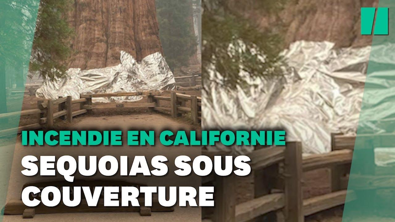 En Californie, des séquoias géants recouverts d'aluminium pour les protéger des incendies