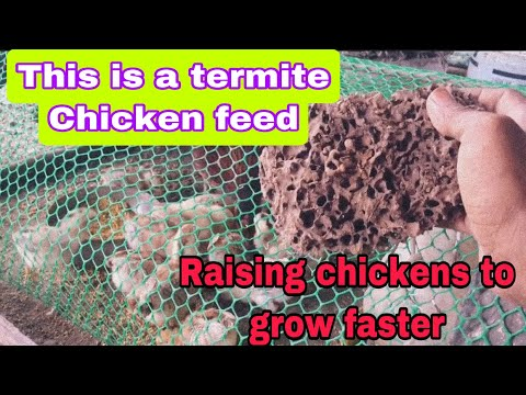 , title : 'This is a termite Chicken feed/Raising chickens to grow faster