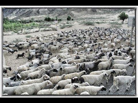 Tiếng sáo chăn cừu, Nghe vài lần chắc là nghiện mất thui.