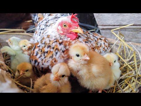 , title : 'galinhas garnizés chocando e com pintinhos, atualização!!'