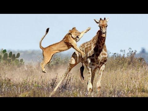 Recopilación de ataques de animales incluidos los leones tigres pumas jaguares leopardos guepardos