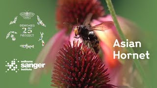 Here we explain the reason why we need the Asian hornet genome (a video from the Wellcome Sanger Ins