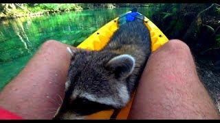 WATCH: Raccoons Like To Kayak Too!!!