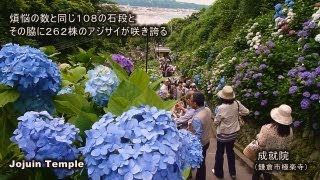 【神奈川】鎌倉アジサイの名所めぐり