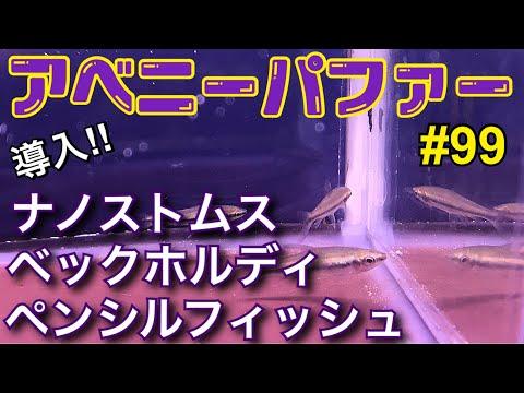 【アベニーパファー】飼育中‼︎ 99 ナノストムス ベックホルディ ペンシルフィッシュ導入!