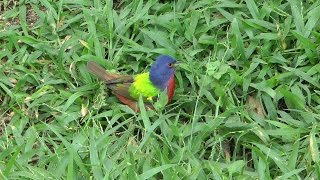 Painted Bunting. South Padre Island.