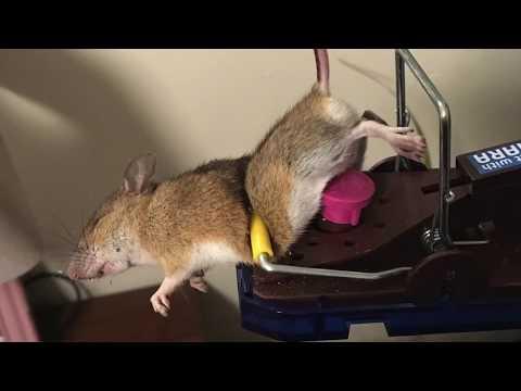 Mäuse giftfrei in den Griff bekommen.