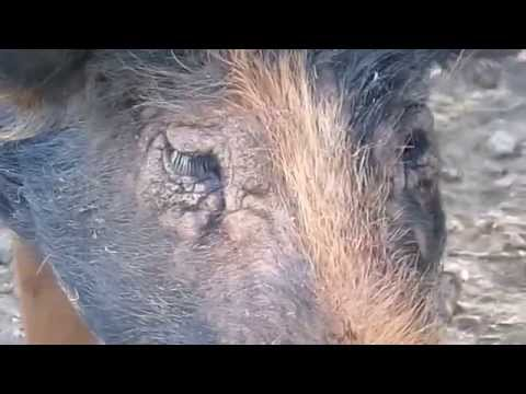 , title : 'Pig skin treatment success?