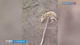 «Чупакабра?»: в Башкирии поймали неизвестного хищника, нападавшего на подворья