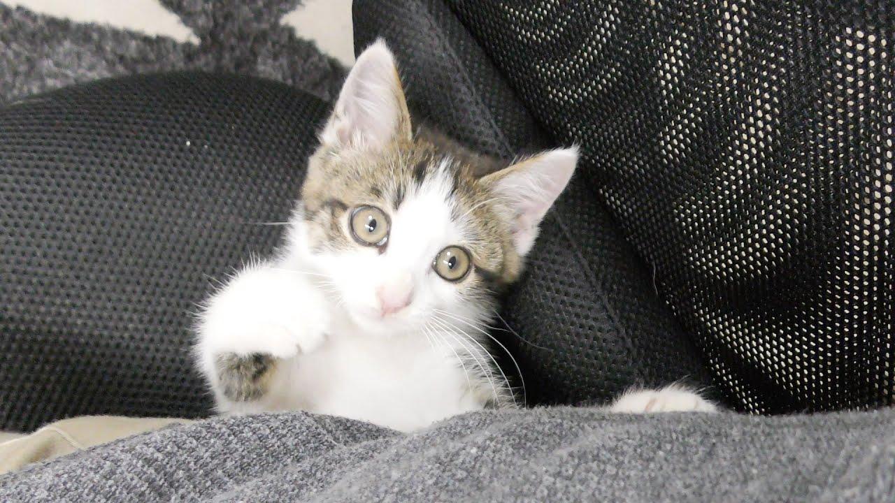 父ちゃんの背中の隙間が好きな子猫 #猫 #cat #子猫 #kitten #父ちゃん #背中 #隙間