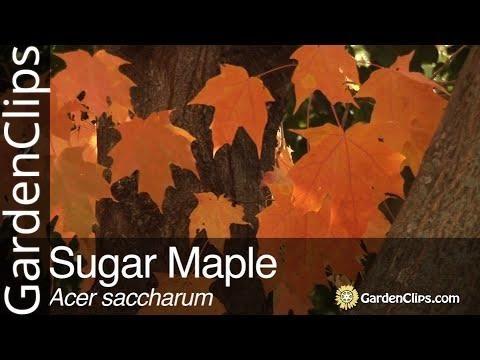Cukorjuhar.................Acer saccharum...../5mag/   NÖV.-377 Kép