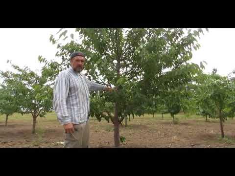 Часть 1 Летняя обрезка плодовых деревьев