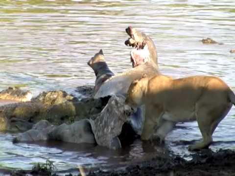 אריות בקרב מדהים עם קרוקודילים!