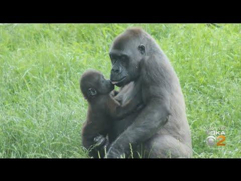 Pittsburgh Zoo's Celebrates Gorilla Frankie's First Birthday
