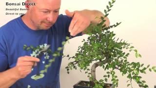 How do I prune my Chinese Elm Indoor Bonsai?