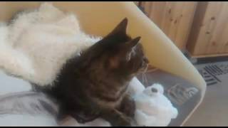 Cute cat wake up | Muffin Cat