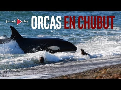 Orcas en Punta Norte