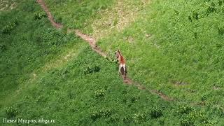 ПОГОНЯ:  Олень гонит волка по горному склону
