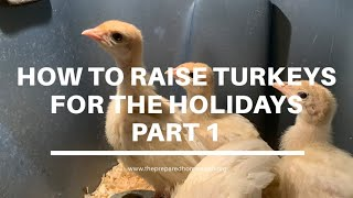 How to Raise Turkeys for the Holidays Part 1