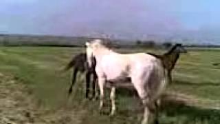 Лошади, Драка лошадей