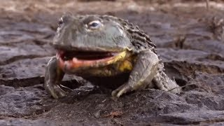 Лягушки монстры, огромные и очень прожорливые!