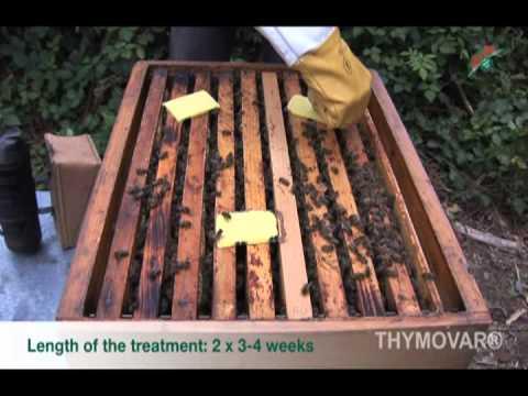 A pinworms bejuthat a női szervekbe