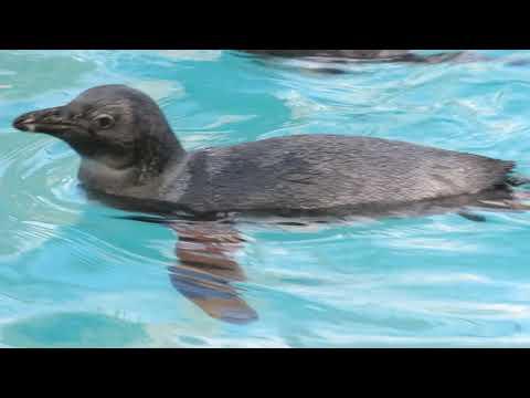 ペンギンの幼鳥のプールデビューです。