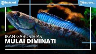 Peminat Ikan Gabus Hias Naik Daun di Malang, 3 Cm Harganya Rp250 Ribu sampai Rp300 Ribu-an