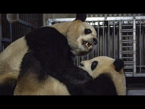 Giant Pandas' Mating Attempt   BBC Earth