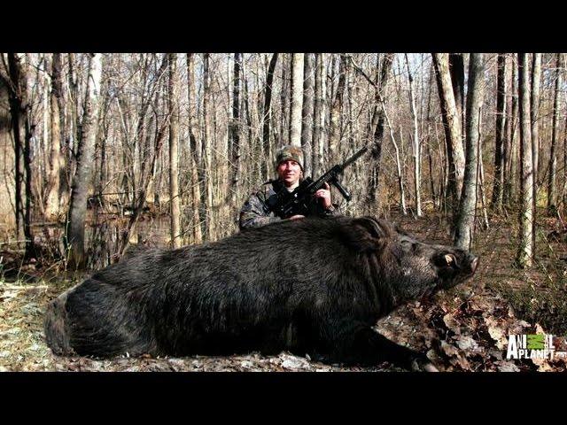 Bringing Down a Giant Boar