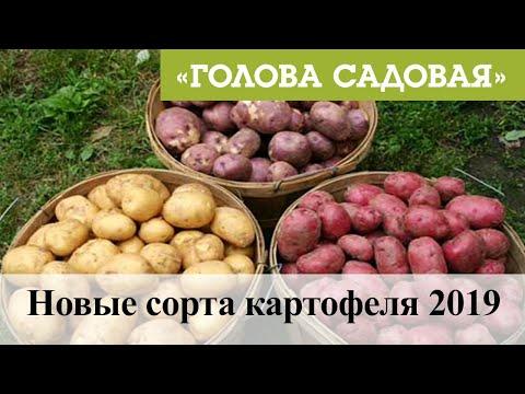 Голова садовая - Новые сорта картофеля 2019